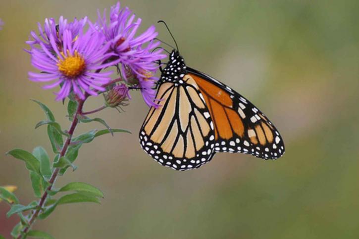Queda da população de borboletas-monarca deveria servir de alerta, afirmam cientistas