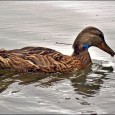 Moradores da cidade de Longview, em Washington, nosEstados Unidos, estão mobilizados desde o dia 15 de julho em uma verdadeira caçada a um exemplar de pato. O motivo é que […]