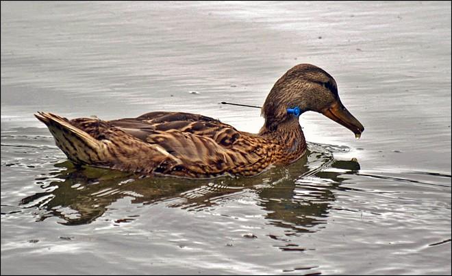 Imagem de pato com dardo no pescoço foi feita no Lago Sacajawea, em Longview, nos EUA. Moradores se mobilizaram para tentar capturar a ave. (Foto: Robert Hawley/AP)