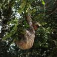 Uma metodologia desenvolvida por cientistas britânicos e americanos mede quantas populações de animais que vivem em determinados estados englobados pela Amazônia Legal podem desaparecer devido ao desmatamento no bioma. No […]