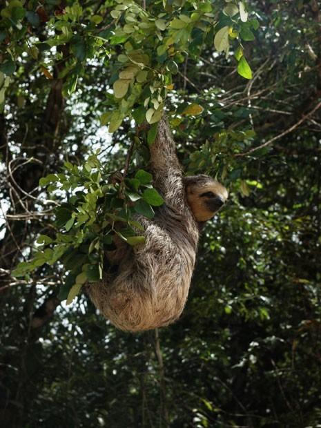 Imagem de bicho-preguiça, espécie endêmica da Amazônia. Se nada for feito para conter a devastação, bioma pode perder até 78 espécies de animais nos próximos anos. (Foto: Divulgação/ Robert Ewers/Science)