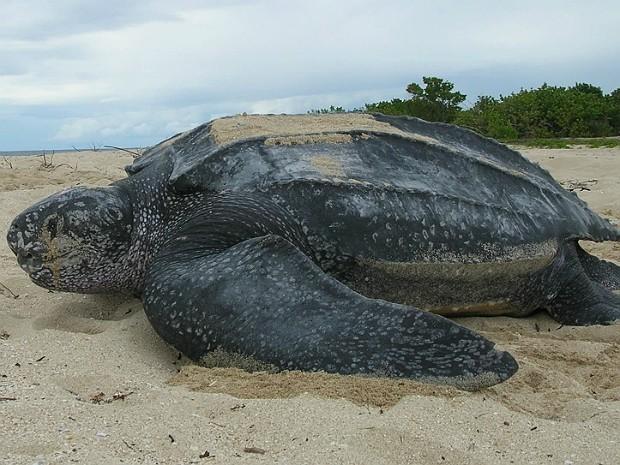 População de tartarugas em praia da Costa Rica é predominantemente feminina, e os machos costumam se juntat a suas parceiras nas estações mais frias e chuvosas (Foto: US Fish and Wildlife Service Southeast)