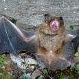Um manual publicado pela Organização das Nações Unidas para a Agricultura e Alimentação (FAO) pretende desmistificar o papel ambiental do único mamífero alado, o morcego. O guiaInvestigando os morcegos: equilíbrio […]