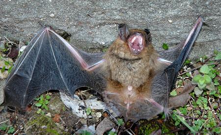 A expansão da agricultura está invadindo habitats que eram ocupados por morcegos. Foto: MSMcCarthy Photography