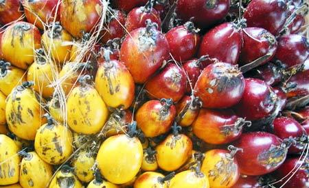 O óleo de palma, também conhecido como dendê, é eficaz na produção de biodiesel.  Foto: CasalMALY