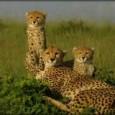 A vida selvagem é considerada um bem nacional no Quênia, como estabelece a Constituição Nacional deste país da África. Por isso, a conservação e a proteção da natureza e o […]