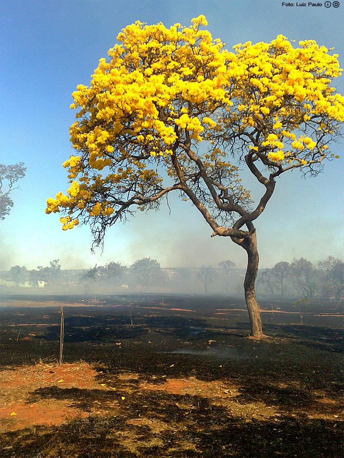 No dia da árvore, a beleza do ipê-amarelo