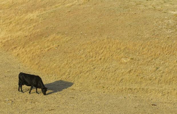 Gado procura alimento em um pasto seco no Kansas, nos EUA. Teoria científica afirma que locais secos atraem mais chuvas. (Foto: Steven Hausler/AP)