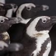 Vinte e um pinguins foram encontrados nesta segunda-feira (3) cobertos de petróleo na Ilha Robben, a 11 km da Cidade do Cabo, na África do Sul. Os animais foram vítimas […]
