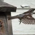 Um estudo da Universidade de Alberta, no Canadá, estima que 22 milhões de pássaros morram por ano, em média, após colidirem com janelas de casas e prédios em todo o […]