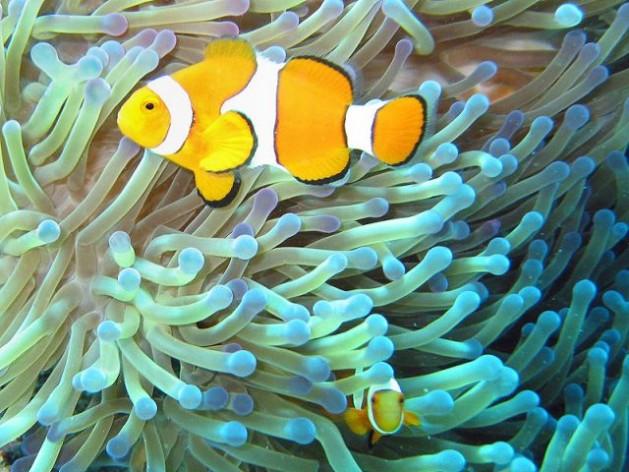 O peixe-palhaço, ou peixe-das-anêmonas, é comum em seu lar da Grande Barreira de Corais, na Austrália. Foto: Jan Derk/Domínio público