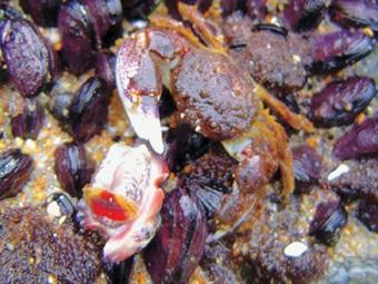 Um caranguejo em plena caça do molusco loco (Concholepas concholepas). Cortesia: Patricio Marínquez