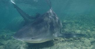 Tubarão-touro é o que tem mordida mais forte