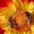 """A evidência de que pesticidas comuns podem ser parcialmente responsáveis pelo declínio no número de abelhas continua aumentando. Muitos estudos recentes têm mostrado que pesticidas conhecidos como """"neonicotinoides"""" podem causar […]"""