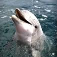 """Pesquisa divulgada nesta quarta-feira (17) na publicação científica """"PLoS ONE"""" afirma que golfinhos conseguem ficar alerta contra possíveis ataques por até 15 dias consecutivos, sem precisar de descanso, graças à […]"""