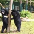 O Vietnã ameaça fechar o Parque Nacional Tam Dao, usado para abrigar ursos feridos por caçadores ilegais. Oficialmente, pedido veio do Ministério da Defesa, que diz que a área é […]