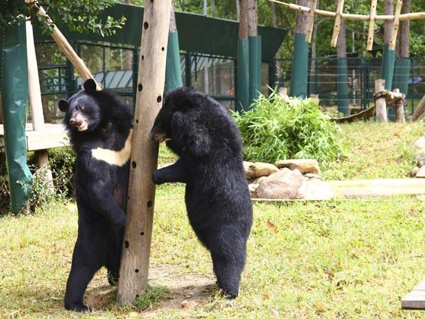 Ursos no Parque Nacional de Tam Dao, no Vietnã (Foto: AP Photo/Mike Ives)
