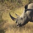 Ao menos 588 rinocerontes foram mortos na África ao longo de 2012, segundo dados divulgados nesta quarta-feira (28) pela organização ambiental WWF. O número equivale a aproximadamente dois animais vítimas […]