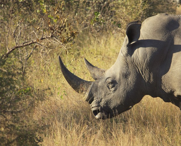 Rinoceronte no Parque Nacional Kruger, na África do Sul. Pelo menos 588 deles foram mortos neste ano (Foto: Divulgação/Universidade de Virgínia)