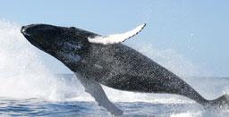 """Baleias jubarte passam """"lua de mel"""" no Brasil"""