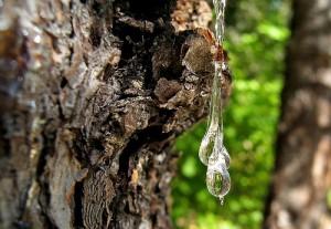 As experiências indicam que os fluidos das árvores poderão ser utilizados não só para a fabricação de plástico, mas também para substituir os combustíveis fósseis utilizados nos dias atuais. Foto: pfly/Flickr