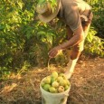 O desenvolvimento da bioenergia no Brasil deve evitar comprometer a segurança alimentar, alertou o coordenador do programa de Bioenergia da Organização das Nações Unidas para Agricultura e Alimentação (FAO), Olivier […]