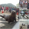 Uma faixa de pedestres na Avenida Atlântica, a principal de Balneário Camboriú, foi passarela para um visitante diferente no litoral catarinense nesse sábado (16). Um animal marinho de aproximadamente 300 […]