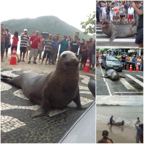 Animal marinho atrai curiosos ao atravessar faixa de pedestres em Balneário Camboriú