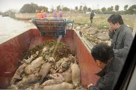 Número de porcos mortos retirados do rio de Xangai chega a 13.000
