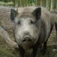 OInstituto Brasileiro do Meio Ambiente e dos Recursos Naturais (Ibama)liberou nesta sexta-feira (1) acaça aos javalis-europeus(Sus scrofa) que vivem em território nacional e, também, ao seu híbrido com o porco […]