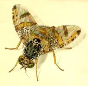 Pernambuco monitora população de moscas no Vale do São Francisco