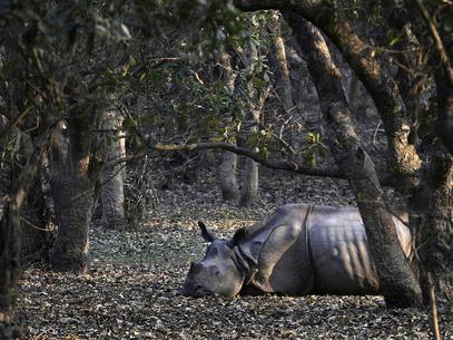 Rinocerontes e tubarões na agenda de reunião sobre espécies ameaçadas