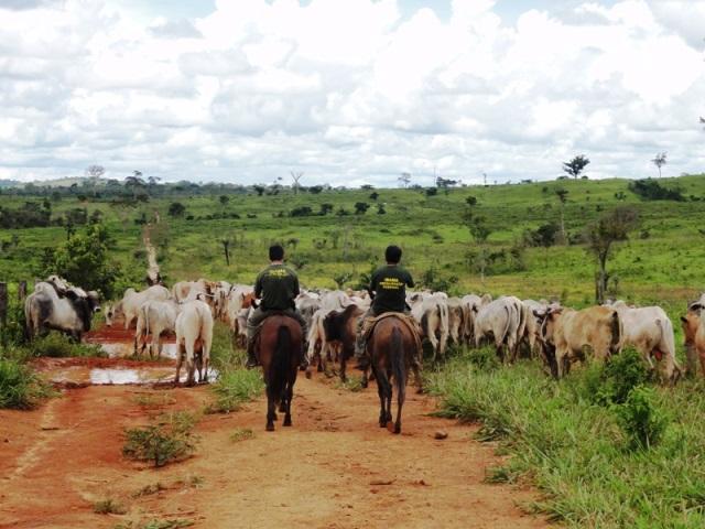 Agentes do Ibama apreendem gados em área desmatada ilegalmente no municipio de Redenção, no Pará. Foto: Nelson Feitosa/Ibama.