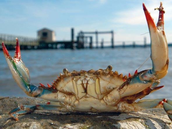 Mais fortes, os crustáceos estão se alimentando aos montes de ostras na Baía de Chesapeake