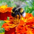 Quatro dias após a Comissão Europeia aprovar a suspensão por dois anos de três pesticidas neonicotinóides (tioametoxam, imidacloprid e clotianidin) que foram considerados perigosos para a população de abelhas, o […]
