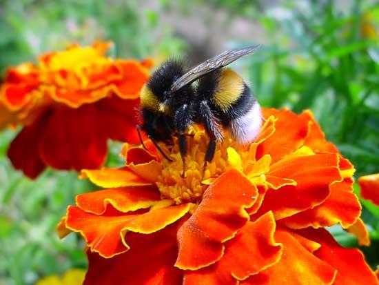 Estados Unidos nega que pesticidas tenham relação com extermínio de abelhas