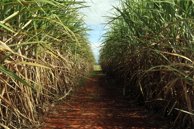 Ruralistas pedem CPI contra a Funai e Senadores autorizam o plantio de cana-de-açúcar na Amazônia