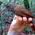 Desde a segunda metade do século XIX a ornitologia brasileira não dava uma contribuição tão significativa para ampliar o conhecimento sobre a biodiversidade: 15 novas espécies de aves da Amazônia […]