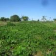 Além da produção de alimentos, serviços e energia, as paisagens agrícolas têm uma função secundária, mas não menos importante, que pode e deve ser fortalecida: a conservação da diversidade biológica. […]