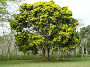 Pau Brasil, http://www.mercadoetico.com.br/arquivo/livro-vermelho-lista-especies-de-plantas-ameacadas-de-extincao-no-brasil/