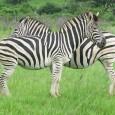 Experimentos mostraram que insetos evitam superfícies listradas. Estudo encontrou menor quantidade de sangue de zebra em mosquitos. As zebras têm suas listras para evitar que sejam atacadas por mosquitos, segundo […]