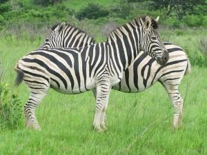 Experimento mostrou que listras de zebra podem servir para espantar mosquitos (Foto: Dennis Barbosa/G1)