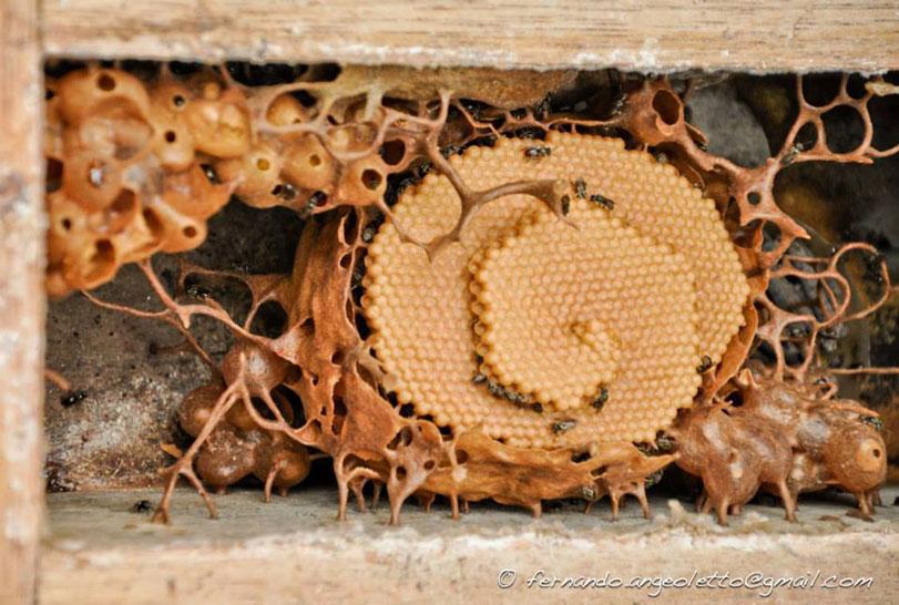 Mel de abelha nativa: ingrediente que é candidato a entrar na Arca do Gosto. Foto: Fernando Angeoletto