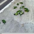 Vandré Fonseca Manaus, AM — Quem achava chato o barulho dosperiquitos-de-asa-branca (Brotogeres versicolurus)em Manaus não poderia imaginar que eles se tornariam ainda mais escandalosos depois de mortos. A morte de […]