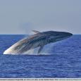 Abaleia-comum(Balaenoptera physalus) é o segundo maior animal existente no planeta, depois da baleia-azul. Também conhecida como baleia-fin e rorqual-comum, este mamífero marinho pode atingir até 27 metros de comprimento. As […]
