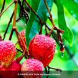 A lichia é uma fruta de origem chinesa que ganha cada vez mais popularidade no Brasil. Além de ser muito comum nas ceias de natal, aLitchi chinensistambém possui vitaminas importantes […]