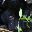 Camila Fróis – 01/12/14 Deslizar a remo durante horas pela Amazônia inundada em um silêncio absoluto é como flutuar na floresta. Os únicos barulhos que interrompem a sinfonia da selva […]