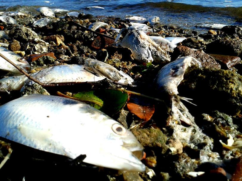 Toneladas de savelhas (uma espécie de sardinha) têm sido recolhidas das praias de Paquetá. Segundo relato de moradores, os peixes morrem asfixiados. Fotos: Fabíola Ortiz