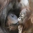"""Um grupo de cientistas afirma ter começado a desvendar segredos da origem da fala humana por meio da análise dos sons de """"beijos"""" emitidos por orangotangos. Uma das revelações do […]"""