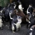 As mudanças climáticas e a pesca excessiva deixaram os jovens pinguins africanos, espécie em risco de extinção, confusos sobre onde encontrar comida, e eles estão morrendo em grande quantidade em […]